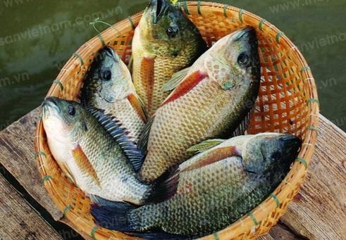 Sau sinh có ăn được cá rô phi không?